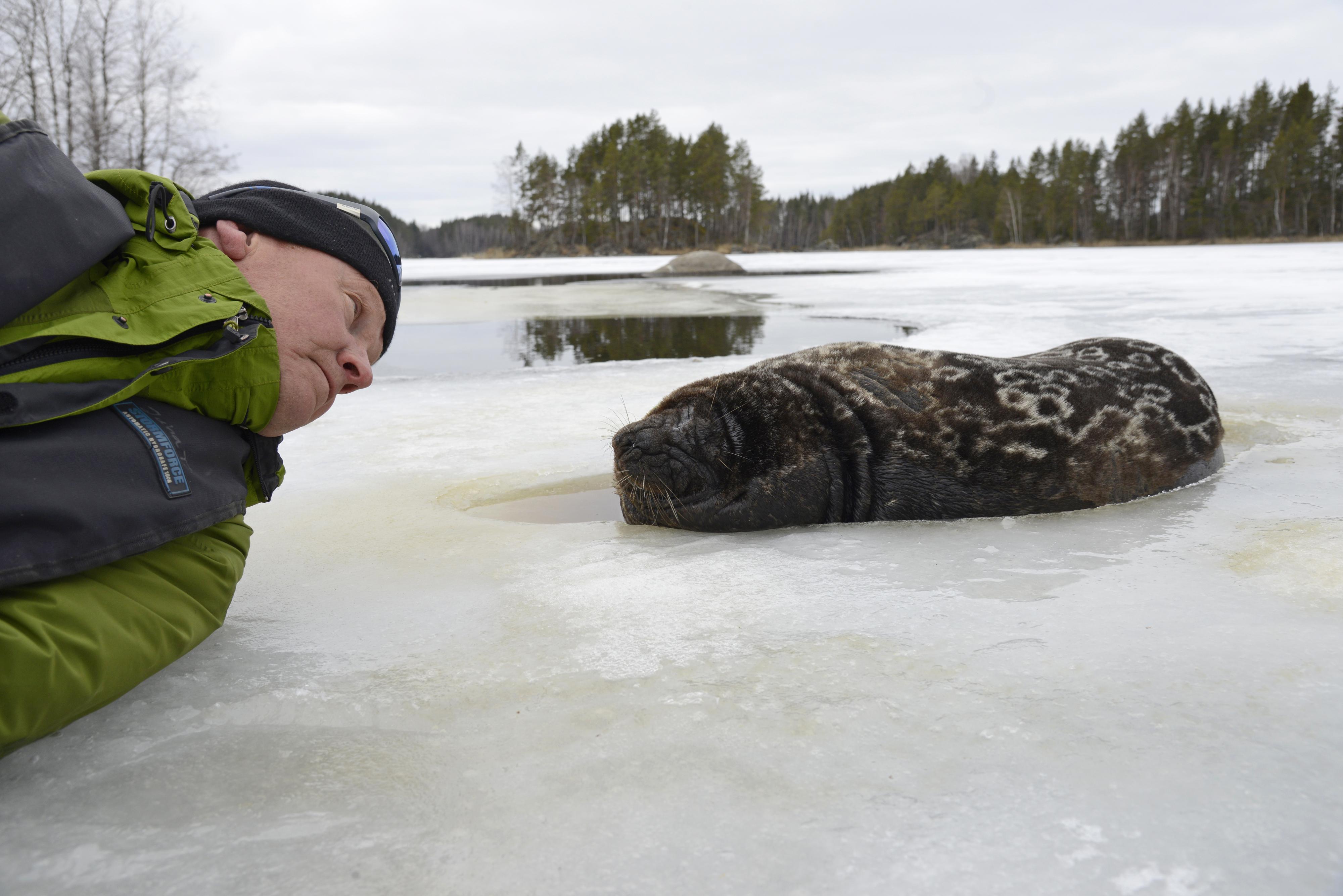 Juha Taskinen jäällä hylkeen kanssa.